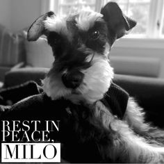 For my best friend. ♥️ (7/9/01 - 1/12/16)   Words cannot describe how much I miss you, Milo. I still love you more than anything, just as I have since I was eight years old. My life will never be the same without you here. You were such a fighter even after you couldn't walk anymore, + I thank you for sticking around with me for another year + a half. I will never regret putting school + work on hold to take care of you. We stayed strong together until the very end. I love you. Rest in…