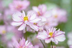 Cosmos bipinnatus 'Sweet 16'