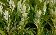 Moxakraut, amerikanisch (Pflanze)