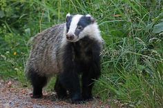 Badger (Meles meles)  -  J.S. Mayer