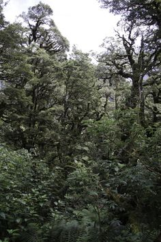 La forêt extraordinaire du Fjorland, Ile du Sud - Nouvelle Zélande