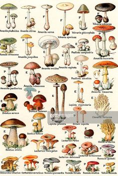Vintage illustration of edible and poisonous mushrooms; lithograph, 1937.