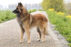 Belgian Tervuren Dog Breed Information, Pictures, Characteristics & Facts – Dogtime