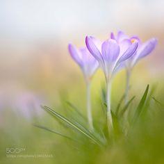 http://ift.tt/1ZY8ZTJ #Nature breathtaking #Photos Spring Crocus by PennyMyles http://ift.tt/1nRVsff