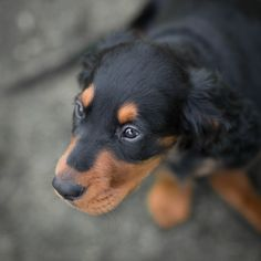 Gordon setter puppy dog looking up, with the eyes sharp and the rest of his body blurred because of low depth of field Setter Puppies, Dogs And Puppies, Cutest Animals, Funny Animals, Gordon Setter, English Setter, Beautiful Dogs, Rottweiler, Logan