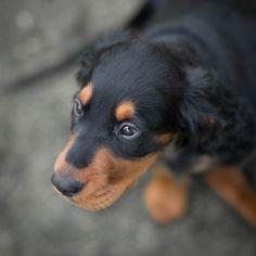 Gordon_setter_puppy_dog | Flickr - Photo Sharing!