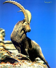 DH is looking to get a tattoo of an alpine ibex--the animal on his family crest. This is a pretty cool shot.