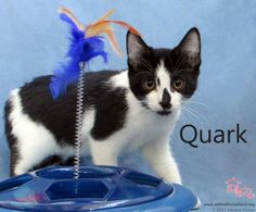 Quark has been adopted! Quark is the last of a very sweet litter to be adopted. They all came in as newborns with a mom thankfully. We watched them all grow and find new homes and now it is Quark's turn. Her pals in The Cosmic Room miss her, but we are all delighted to know that she has a whole life ahead of her as a member of a loving family.