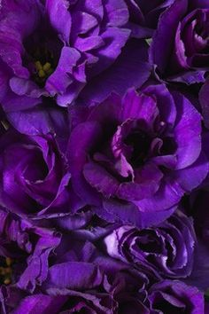 Purple Lisianthus - Click image to find more Gardening Pinterest pins