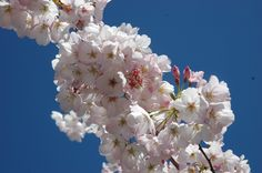 Enjoy a gorgeous image of cherry blossoms to remind you that spring is right around the corner, kind of.