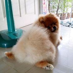 Fluffy butt #pomeranian