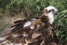 Fischadler Amalia ist zurück auf Mallorca