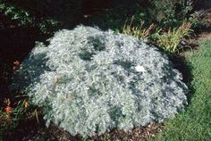 Artemisia 'Powis Castle'   Herbaceous Perennial Flower- not native, but well adapted, looks silvery