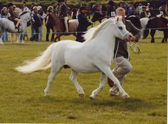 Nynwood Stud Welsh Mountain Ponies - Mares
