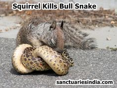 Hi Friends! Watch This Exiting Video. Squirrel Kills Bull Snake