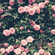 #roses #england | IPhone moments from here and there | VSCO Grid