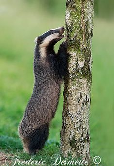 Badger Images, Animals Images, Cute Animals, Hufflepuff Pride, British Wildlife, Spirit Animal, Animal Photography, Pet Birds, Animal Kingdom