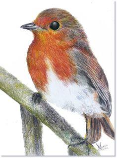 Robin                                                                                                                                                                                 More