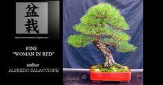 """Evoluzione Bonsai    : ALFREDO SALACCIONE - BONSAI DI PINO """"WOMAN IN RED""""..."""