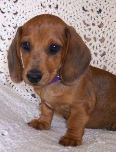 Daschund Puppies For Sale, Dapple Dachshund Puppy, Baby Dachshund, Funny Dachshund, Cute Puppies, Cute Dogs, Miniature Dachshunds, Miniature Dachshund Puppies, Cute Baby Animals
