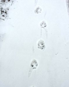 Dog Tracks in the Snow