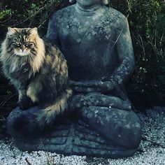 #buddhacat #chilli Buddha, Cats, Outdoor, Outdoors, Gatos, Outdoor Games, Cat, Kitty, The Great Outdoors