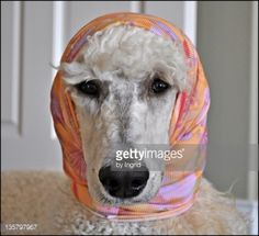 Stock Photo : Standard poodle dog with head covered with scarf