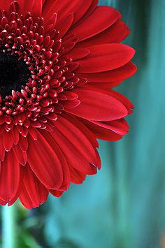 Flower Photograph Bright Red Gerbera Daisy, Fine Art Nature Photography, Flower Home Decor Wall Art, Red & Teal Gerber Botanical Photograph