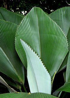Diamond Joey Palm - Johannesteijsmannia altifrons - Thailand