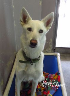 A4853330 I am a very friendly 11 month old female white Siberian Husky mix. I came to the shelter as a stray on July 8. available 7/12/15. NOTE: Pit bulls are not kept as long as others so those dogs are always urgent!! Baldwin Park shelter https://www.facebook.com/photo.php?fbid=996248603720310&set=a.705235432821630&type=3&theater