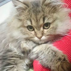 ルナちゃんの上目遣い(*´艸`*) * #猫 #ラグドール #ragdoll #ペルシャ #persian #neko #cat #cats #ねこ #ネコ #ネコ部 #kitty #kittycat #おはよう #morning #モコモコ部 #ふわふわ #ふわもこ部 #子猫 #愛猫 #catstagram #instacat #instacats