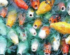Jesus. Get these hungry Koi the carcass of something...