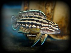 Offering Julidochromis species for Sale every day at great prices. Find a list of Julidochromis Cichlid Types to help in identifying and collecting African Cichlids from Lake Tanganyika. Tropical Fish Store, Tropical Fish Aquarium, Freshwater Aquarium Fish, Fish Aquariums, Quality Foods, Cichlid Fish, Lake Tanganyika, Cool Fish, Pet Fish