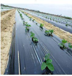 Folie de Mulcire Neperforata Solar, Country Roads, Fruit, Vegetables, Plant, The Fruit, Vegetable Recipes