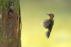 laced woodpecker        (photo by harprit singh)