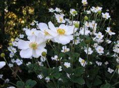 Anemone hybr. `Honorine Jobert`     (Herfstanemoon). bloeit aug-okt. zon-halfschaduw