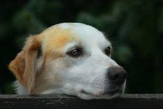 Cómo hacer pañales para perros