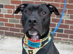 TO BE DESTROYED MON, 1/27/14 - Brooklyn Center   SIMBA - A0989753   NEUTERED MALE, BLACK / WHITE, PIT BULL MIX, 9 mos  STRAY - ONHOLDHERE, HOLD FOR ID Reason STRAY  Intake condition NONE Intake Date 01/16/2014, From NY 11224, DueOut Date 01/24/2014 MAIN THREAD: https://www.facebook.com/photo.php?fbid=744303742249174&set=a.743329399013275.1073742871.152876678058553&type=3&theater
