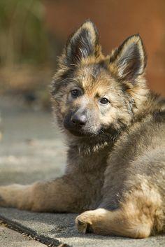 German Shepherd - Too darn cute!