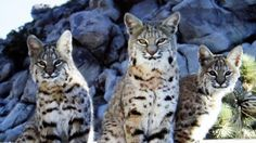 Bobcat mother and two cubs