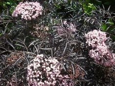A Plant You Should Know: Black Lace Elderberry ...
