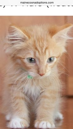 """""""Carter, The Handsome Butterscotch Boy"""", has been ADOPTED!.  He loves to play with other kitties and does well with children. MaineCoonAdoptions.com Oakland, CA"""