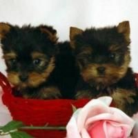 Extremely cute X-MAS Teacup Yorkie puppies for free adoption text (970)-489-7680 Picture