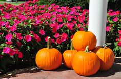 SunPatiens® still going strong in Orange October!