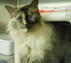 TRIXIE is an adoptable Siamese Cat in Anchorage, AK Alert and attentive, this loving Tortie Point enjoys people and will come right up to you for p ... ...Read more about me on @petfinder.com