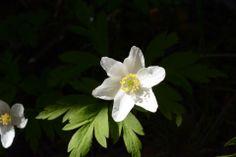 Ja vielä valkovuokko | Vesan viherpiperryskuvat – puutarha kukkii