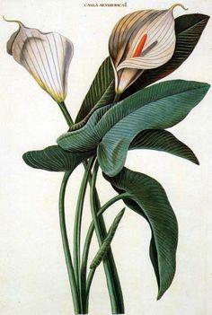 Ehret: Calla  love botanical art