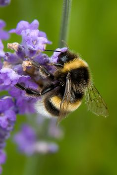 Bombus terrestris - Buff-tailed Bumblebee | Flickr - Photo Sharing!