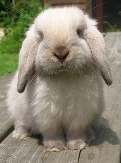 Sable Point Holland Lop-The bunny version of Nutmeg Mini Lop Bunnies, Holland Lop Bunnies, Cute Baby Bunnies, Cute Babies, Cute Funny Animals, Cute Baby Animals, Cute Bunny Pictures, Little Bunny Foo Foo, Fluffy Bunny