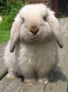 Sable Point Holland Lop Sooooo cute